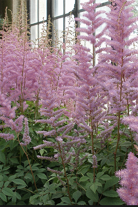 Astilbe fabulous shady plants where there is moisture in the garden