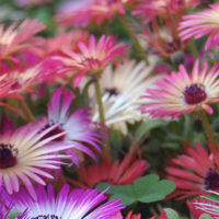 Livingstone Daisies colour your garden in spring and summer