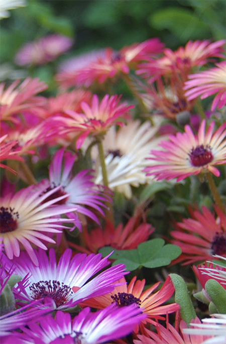 Livingstone Daisy colour your garden with a mix of colours