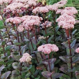 Buy Sedum Matrona