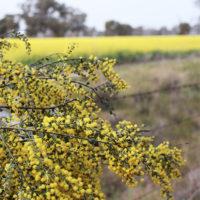Acacia Flowering Wattle Trees Winter Riverina Area