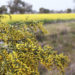 Acacia Wattle Grow Many Uses
