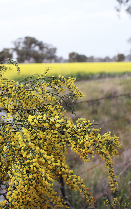 Acacia Wattle Trees Winter Flowering Riverina Area