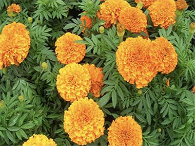 African Marigolds Tagetes erecta