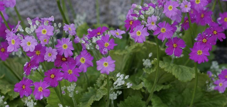 Fairy Primrose or Primula Malacoides