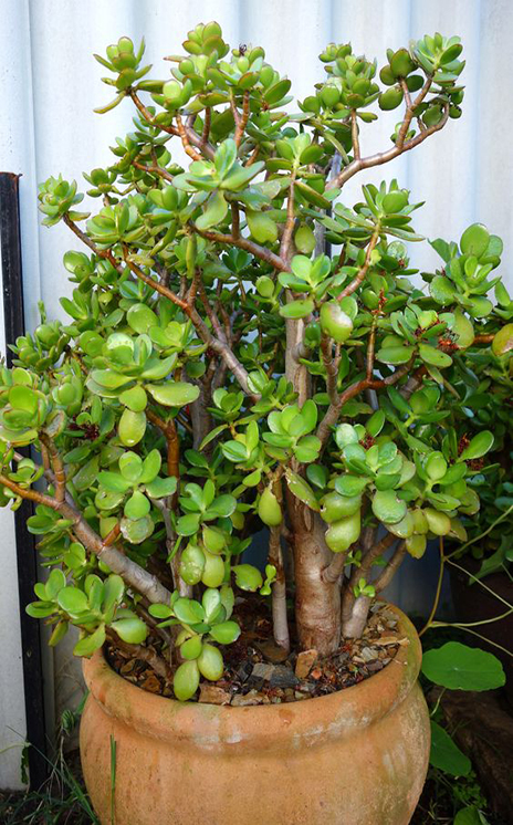 Jade plant planted in a large terracotta pot