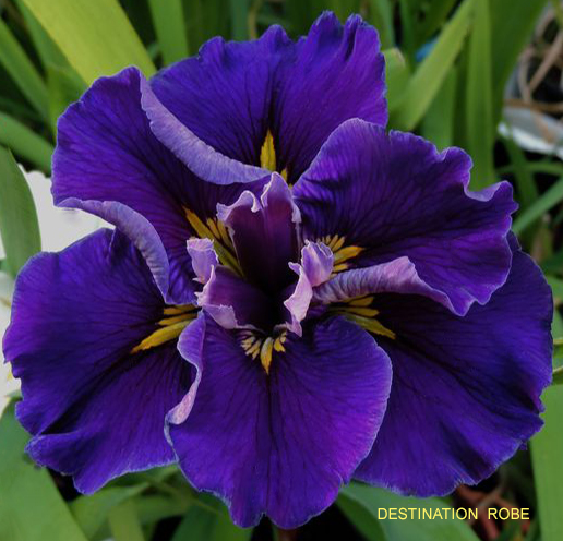 Shop Louisiana Iris