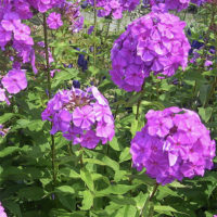 Phlox Planting And Caring