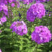 Phlox Plants Planting And Caring