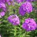 Phlox Plants Planting And Caring