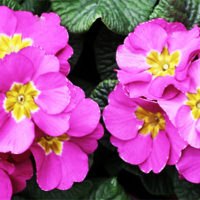 Primula Primrose Polyanthus Outdoors Care