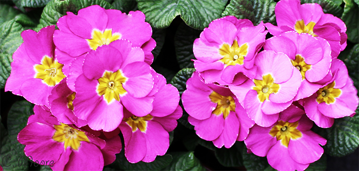 Primula Primrose Polyanthus Care How To Grow Outdoors