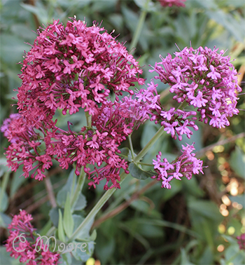Valerian red pink and mid pink