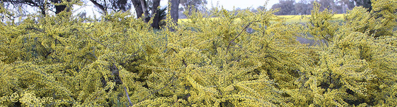 Acacia wattle tree flowering in the reserve
