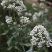 White Valerian How to grow plant seed