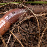 Fascinating Facts About Earthworms
