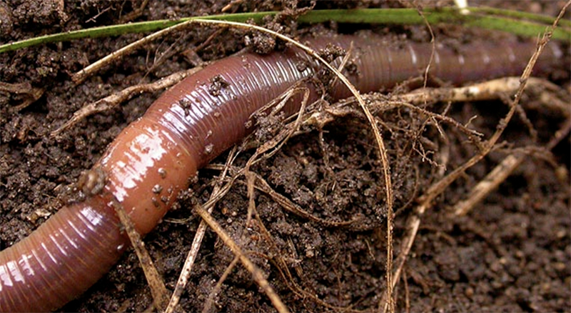Get Back Earthworms In Gardens Survival Wet Dry Soils