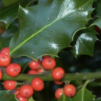 Holly tree facts and most popular varieties