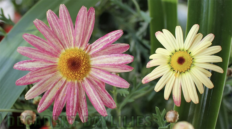 Marguerite Daisy different types double single fragrant flowers