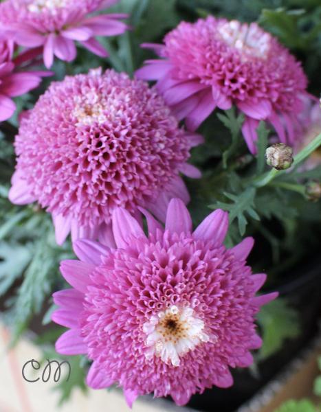 Gardening double pink marguerite daisy