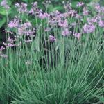 Edible Society Garlic Sweet Smelling