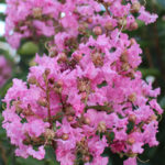 Crepe Myrtle Tree Care Guide