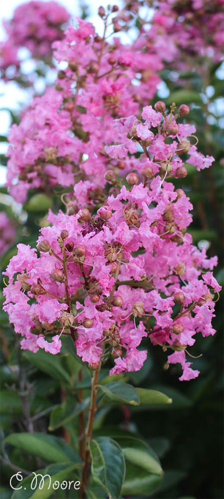 Crepe Myrtle bloom continuously all summer long