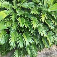 Philodendron xanadu shrub popular landscaping plants