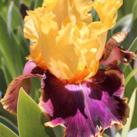 The life cycle of a bearded iris plant