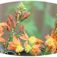 Bulbine Frutescens plant uses propagation growing tips