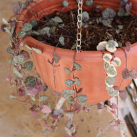 String-Of-Hearts-Rosary-Vine-Plant-Propagation