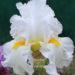 How Iris Fanciers Stage Bearded Irises