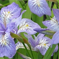 Iris Gracilipes care how to grow a crested Iris