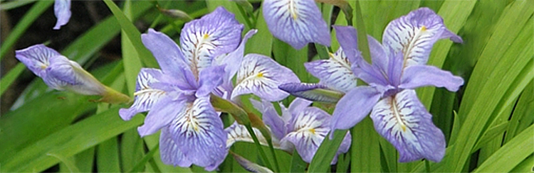 Iris Gracilipes care how to grow evansia crested Irises