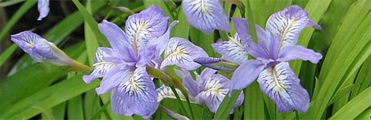 Iris Gracilipes care how to grow evansia crested Irises