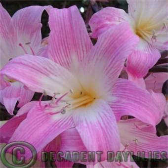 Buy Belladonna Lily