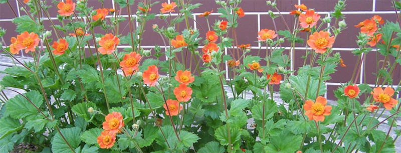 Geum Avens care perennial plants for the home gardeners garden