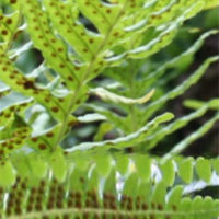 Propagation preserving old rare ferns from spores