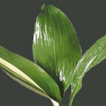 Aspidistra Cast Iron Flowering Plant