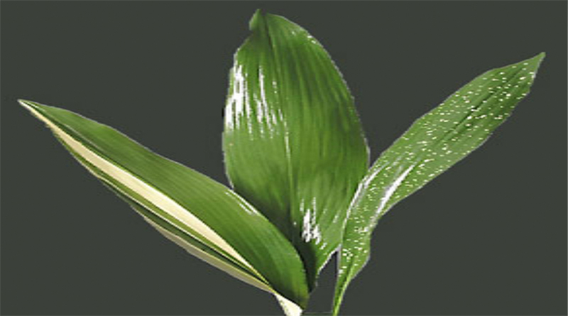 Cast Iron Plant Variegated Aspidistra Elatior growing caring