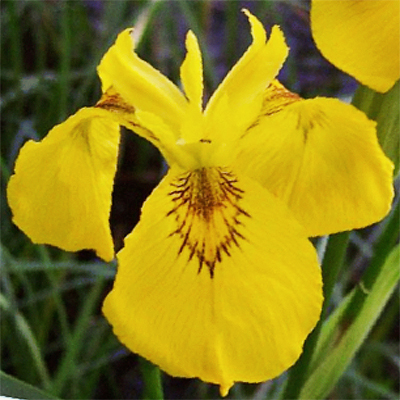 Daylilies In Australia Yellow Iris Pseudacorus Water Iris Facts