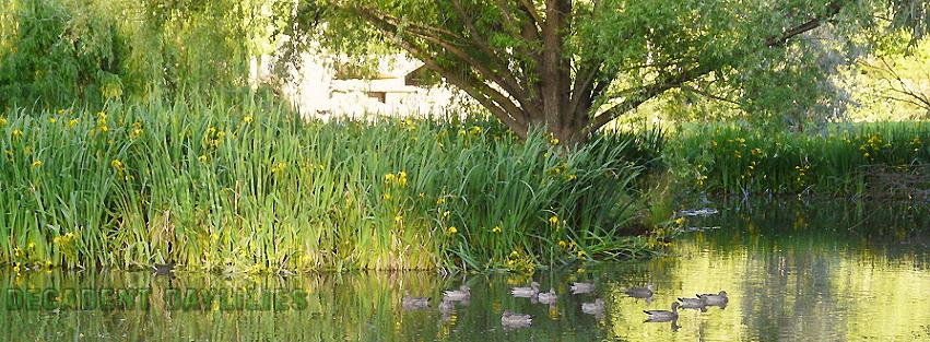 Iris Pseudacorus yellow water Iris facts