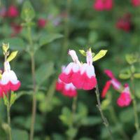 Hot Lips Salvia growing pruning salvia plants