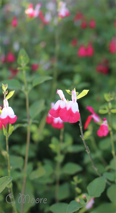 Hot Lips plant growing pruning salvia plants