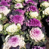 How to grow ornamental kale flowering cabbage in your garden