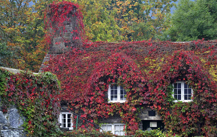 Virginia Creeper colourful rapid climber cold hardy
