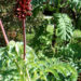 Melianthus major Care