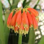Clivia Nobilis flowering in my garden