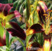 Daylilies and Lilies Difference