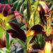 Daylilies and Lilies Difference New
